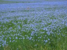 Fotografie, Blüte, Sommer, Flachs