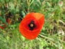 Blüte, Fotografie, Sommer, Mohn