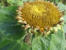 Fotografie, Sonnenblumen, Stillleben, Sommer