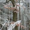 Buch, Winter, Blätter, Frost