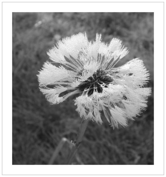 Tau, Fotografie, Dran, Pusteblumen, Pflanzen, Kräftig