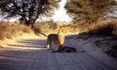 Kalahari, Afrika, Löwe, Fotografie