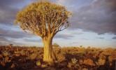 Baum, Landschaft, Namibia, Köcher