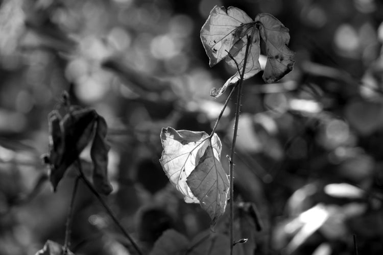 Blätter, Gegenlicht, Schwarzweiß, Fotografie