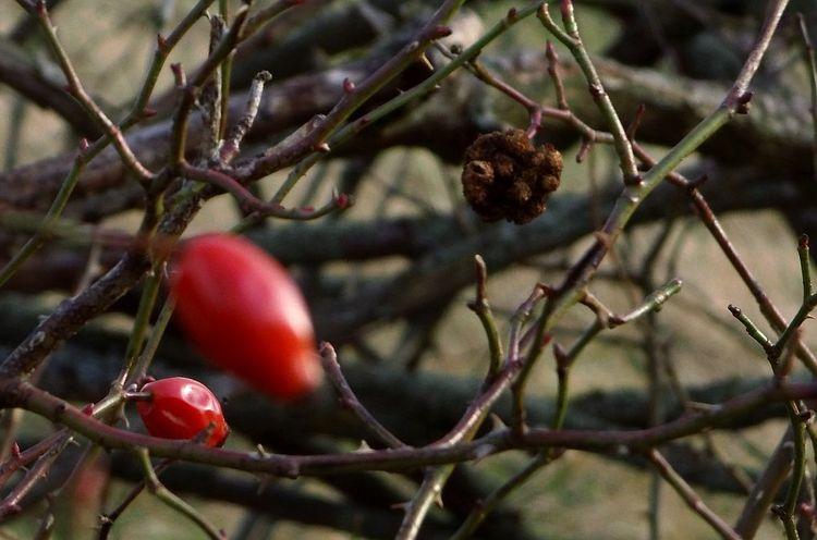 Winter, Dörnberg, Hagebutte, Fotografie, Bodenschätze, Rot