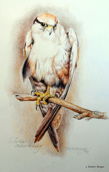 Vogel, Falke, Sakerfalke, Aquarell
