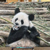 Panda, Sprühdose, Airbrush, Malerei