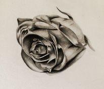 Zeichnung, Zeichnungen, Rose