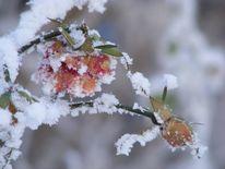 Schnee, Eisblumen, Aquarellmalerei, Rose