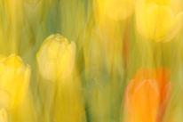Lichtmalerei, Lightpainting, Wischeffekt, Tulpen