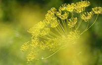 Dolde, Dolden, Gelb, Blüte