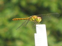 Libelle, Tiere, Landschaft, Flugwetter