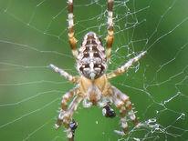 Spinne, Fotografie, Tietre