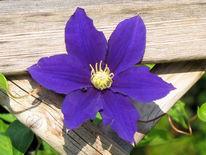 Fotografie, Blumen, Clematis, Blüte
