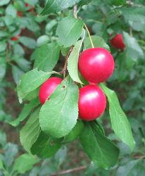 Rot, Blätter, Pflaume, Natur