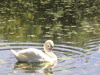 Teich, Grünspiegelungen, Schwan, Fotografie
