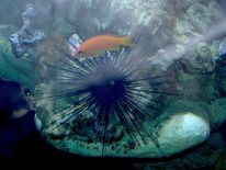 Seeigel, Oranger fisch, Unterwasserwelt, Fotografie
