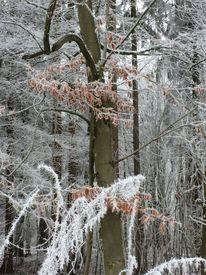 Frost, Raureif, Buch, Winter