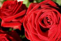 Rose, Rot, Stillleben, Blumen
