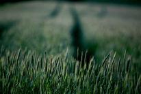 Grün, Landschaft, Fotografie, Kornfeld