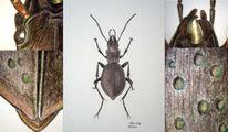Tiere, Insekten, Käfer, Zeichnung