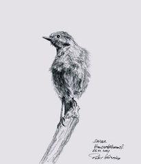 Hausrotschwanz, Vogel, Skizze, Zeichnung