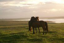 Islandpferde, Island, Gras, Pferde