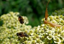 Natur, Pflanzen, Biene, Fotografie