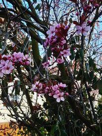 Frühling, Zierstrauch, Blutflaume, Fotografie