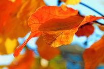 Orange, Blätter, Fotografie, Herbstblätter