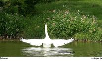 Natur, Wasser, Schwanflügel, Vogel