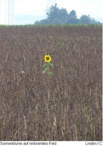 Landschaft, Feld, Sonnenblumen, Blumen