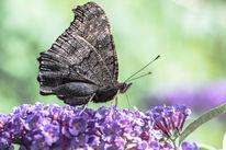Sommerflieder, Makro, Pflanzen, Schmetterling
