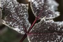 Blätter, Raugreif, Makro, Struktur