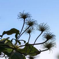 Blumen, Fruchtstand, Fotografie, Clematis