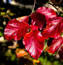 Laub, Herbst, Kontrast, Rot