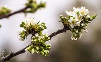 Frühling, Kirschblütenzweig, Weiß, Makro