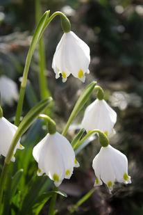 Fotografie, Frühling, Märzenbecher, Blumen