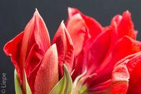 Winter, Amaryllisblüte, Blumen, Rot
