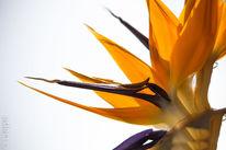 Blüte, Exotisch, Makro, Strelitzia