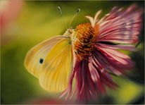 Herbst, Gelb, Blüte, Aster schmetterling