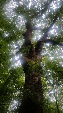 Baum, Äste, Eichen, Licht