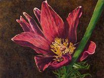 Kuhschelle, Blüte, Blumen, Stängel