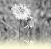Löwenzahn, Wildkräuter, Pusteblumen, Natur