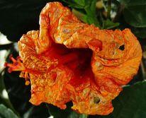 Fotografie, Hibiskus, Blüte, Sterben