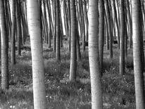 Pappeln, Wald, Stamm, Fotografie