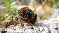 Hummel, Insekten, Monster, Fotografie
