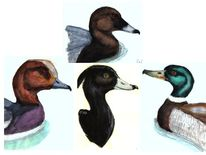 Pfeilente, Ente, Reiherente, Vogel
