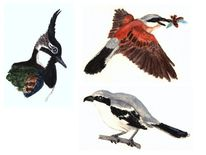 Vogel, Regenpfeifer, Würger, Kiebitz