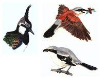 Neuntöter, Singvogel, Raubwürger, Regenpfeifer